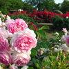 2013/06/02_伊奈町制施行記念公園 バラ園のバラ