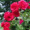 2013/06/15_伊奈町制施行記念公園 バラ園のバラ