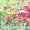 紅葉咲く春