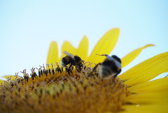 向日葵と熊蜂