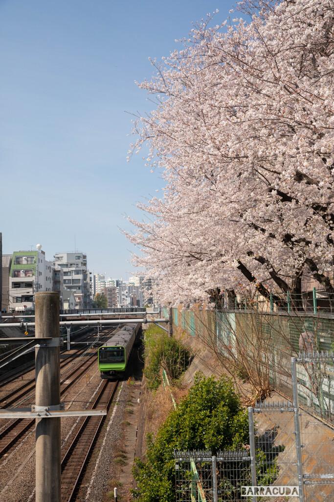 桜と山の手線