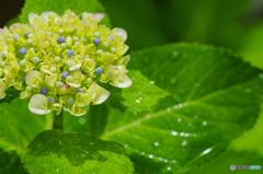 雨上がり、濡れた紫陽花 1