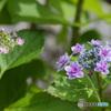 真っ盛り額紫陽花