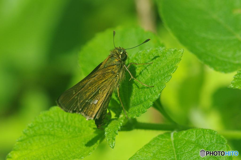 背中メタリックな輝き セセリ蝶