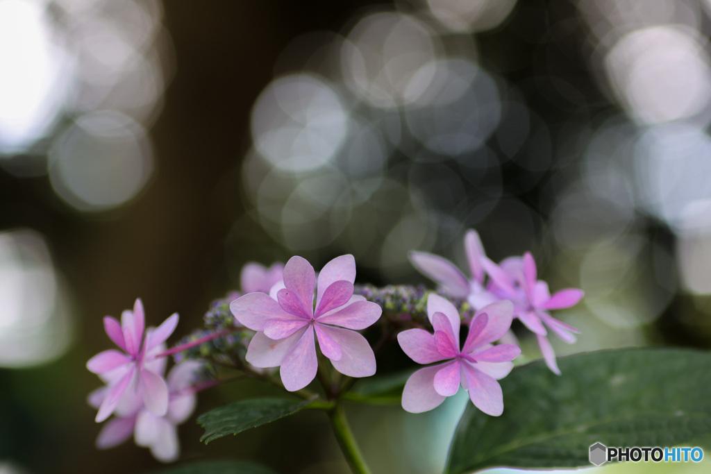 光に包まれる額紫陽花