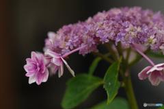 雨上がり 紫陽花 この品種は何でしょう?