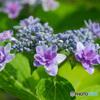 力強く咲く 額紫陽花