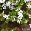 春の訪れ ユキヤナギとハナアブ