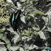 青の輝き common bluebottle 1