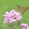まん丸お目目が可愛いセセリ蝶