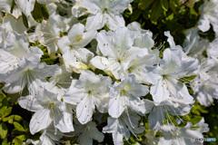 白い花をより白く撮りたい! ツツジ