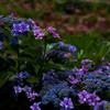 額紫陽花の鮮やかさ