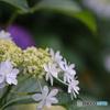 大きな花が小さな花たちを守る白いガクアジサイ