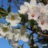 浦安 境川沿い オオシマザクラと思われる桜が開花