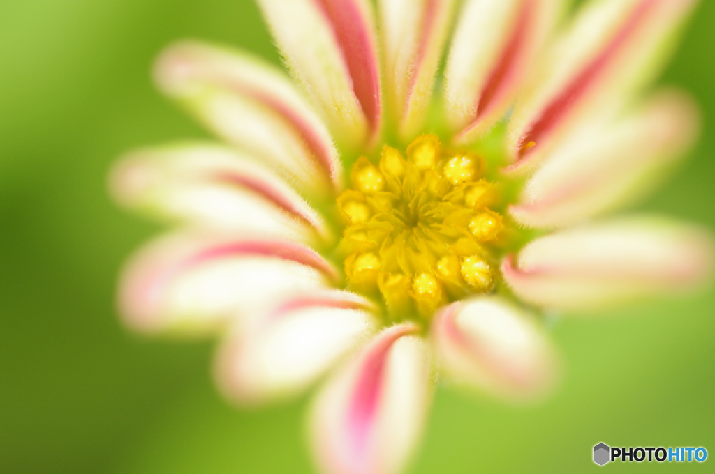 ふんわり甘そうな 咲き始めのジニア