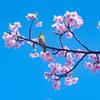 桜の蜜美味しい! 青空が気持ちいい!