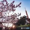 桜と東京タワー 再現像版