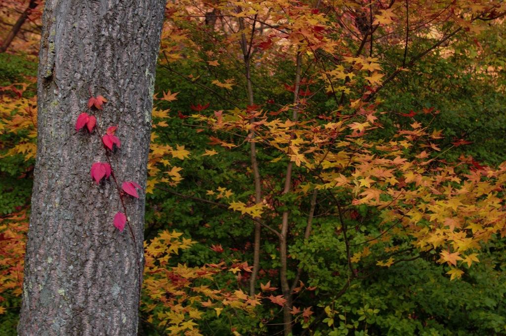 木に絡む赤い葉が印象的で