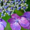 あじさいの蕾と花