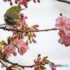 桜シーズン振り返り 2月15日の河津桜にメジロ見返り美人風