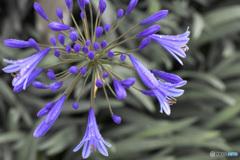 雨の中、花開くアガパンサス