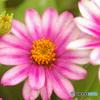 ジニア 蕾と開花中