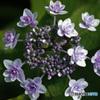 花火のように咲く額紫陽花