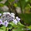 真っ盛り額紫陽花 その2