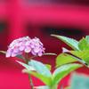 本土寺の赤い橋の前に佇む ピンクのあじさい