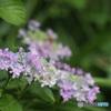 額紫陽花の始まり