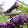千葉県のあじさい寺 本土寺4