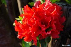 赤くて赤い アマリリスのようなツツジの花たち