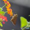 やっぱりお目目可愛いセセリ蝶
