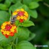 蜂も集まる庭のランタナ