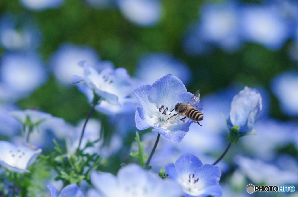 青い花に夢中な蜂さん