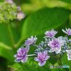 真っ盛り額紫陽花 その3