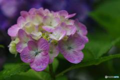 雨上がり、濡れた紫陽花 4