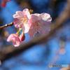 河津桜が咲き始め