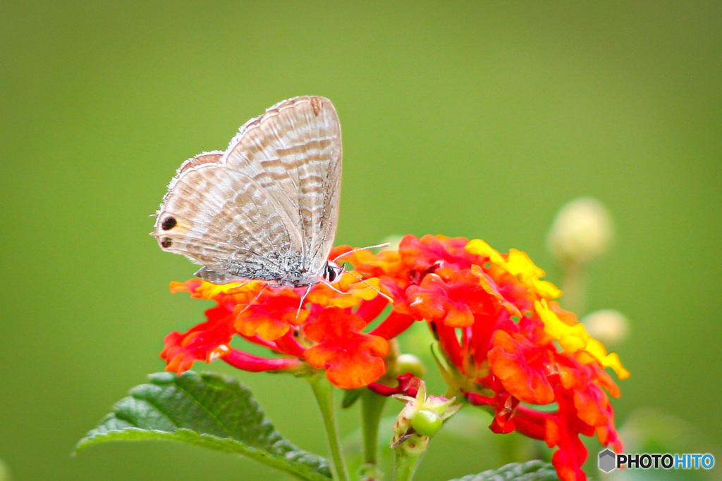 なかなかランタナに蝶が来ないので