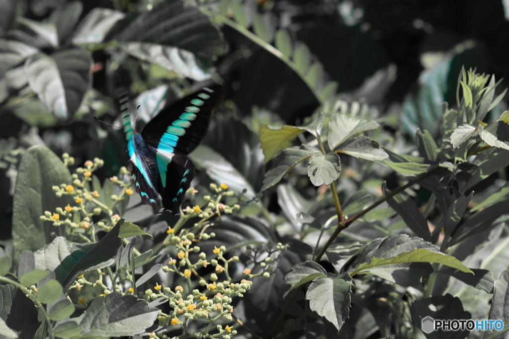 青の輝き common bluebottle 2