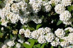 白い花をより白く撮りたい! 小手毬