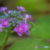 可憐に咲く額紫陽花