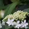 白い清楚な額紫陽花