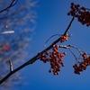 秋空に輝くナナカマド