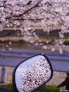 バイクミラーの中の桜