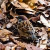 落ち葉と雀