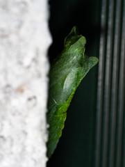 隠れてる蛹