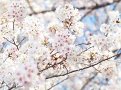 上野公園の桜 #4