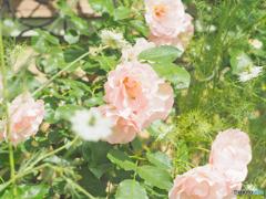 季節の花~Rosa