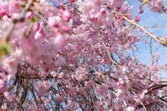 枝垂れ桜(1)